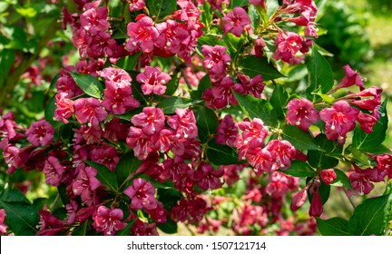 Luxury bush of flowering Weigela Bristol Ruby. Selective focus and close-up beautiful bright pink flowers against evergreen in  ornamental garden. Nature concept for design