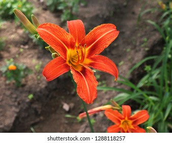 Luxury flower Daylily , Hemerocallis Fulva  in the garden close-up.Edible flower. Daylilies are perennial plants. They only bloom for 24 hours.