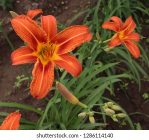 Luxury flower  daylily ,Hemerocallis Fulvain the garden close-up.A daylily is a flowering plant in the genus Hemerocallis.Edible flower. Daylilies are perennial plants. They only bloom for 24 hours.