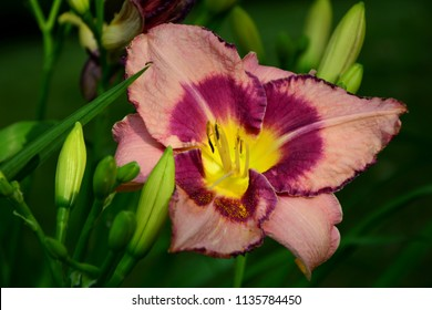 Luxury flower daylily strawberry Candy varieties in the garden close-up.