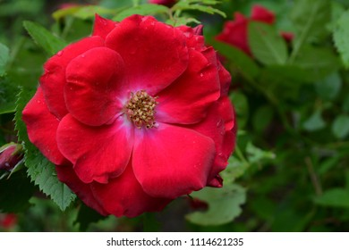 luxury flower red bright rose with dew drops close-up, morning tenderness, summer garden blossom
