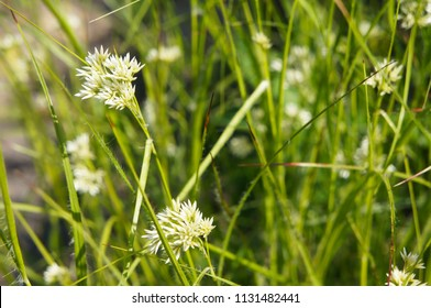Luzula nivea or snow-white wood-rush green plant