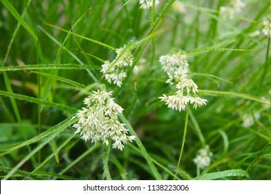 Luzula nivea or snow-white wood-rush green grass