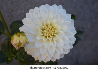 Lvely white dahlia flower