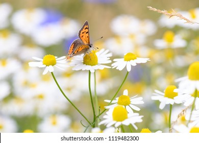Lycaena phlaeas, the small copper, American copper, or common copper on a daisy