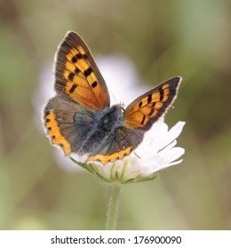 Lycaena phlaeas, Small Copper, American Copper, Common Copper, european butterfly