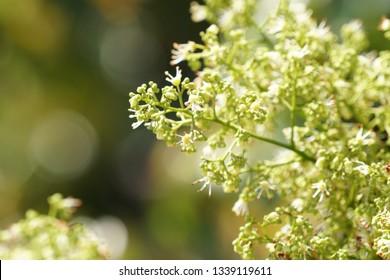 Lychee flower or Litchi chinensis, Lichia