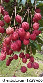 lychee fruit on  tree start to ripe  beautiful red in nature.