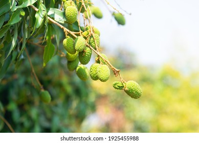 Lychee, Lichi (Scientific name: Litchi chinensis Sonn.) The raw green fruit is growing on the tree, on a blurry natural background in summer with warm sunshine.