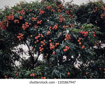 Lychee (Litchi chinensis) the tropical and subtropical fruits native to China.