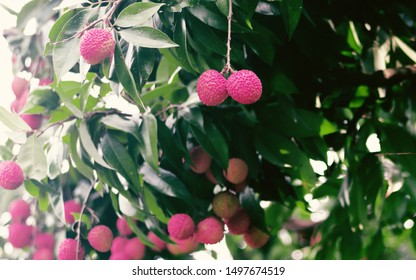 Lychee On Tree. Lychee, Fresh lychee and peeled showing the red skin and white flesh with green leaf . Lychee tree in the harvest season.