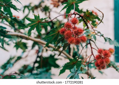 Lychees ripening on a tree
