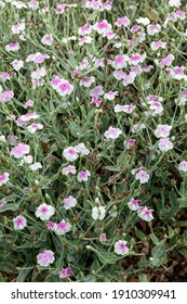 Lychnis coronaria var 'oculata' a pink herbaceous springtime summer flower plant commonly known as Rose Campion, stock photo image