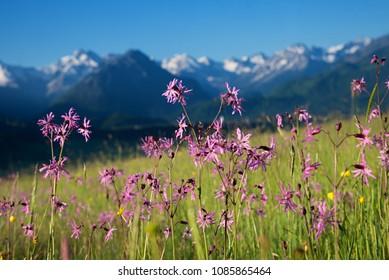 lychnis flos-cuculi in mountainous landscape, allgau alps. selective focus.