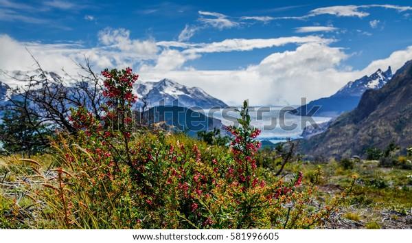Lycium ameghinoi Torres Del Paine National Park UNESCO Chili Patagonia