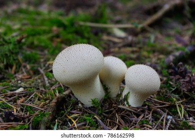 Lycoperdon marginatum mushroom growing in a forest ground. commonly known as the peeling puffball