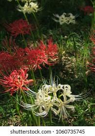 Lycoris radiata (Red spider lily) Flowers