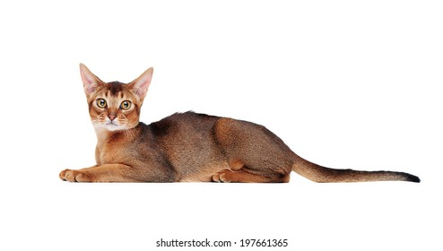 lying abyssinian cat on the floor