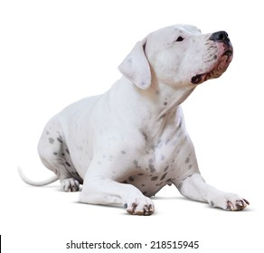 lying adult Dogo Argentino. Isolated on white background
