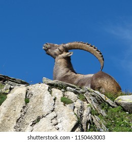 Lying alpine ibex scratching his back with his horns. Another alpine ibex with a ichy back. It is very useful to have such big horns.