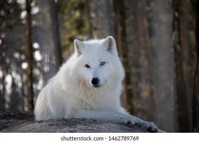 Lying arctic wolf in winter. Canis lupus arctos.