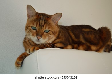 Lying Bengal Cat with Green Eyes Close Up on White Background