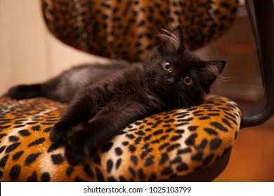 lying black kitten