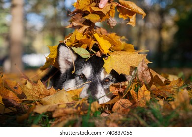 a lying black and white dog is sprinkled with golden maple leaves
