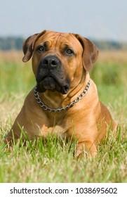 Lying boerboel dog in a summer meadow