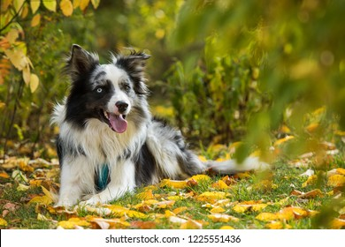 Lying border collie in autumn nature