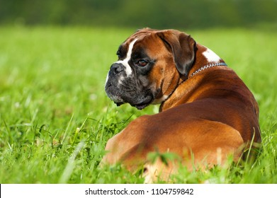 Lying boxer dog in a summer meadow