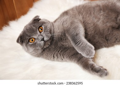 Lying British cat on fur rug on wooden background