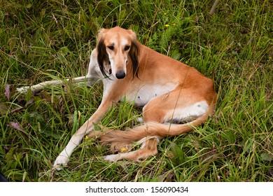 Lying brown saluki in green grass