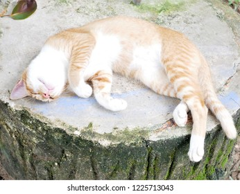 Lying cat (red tabby and white)