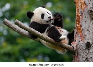 Lying cute young Giant Panda feeding on bark of the tree.