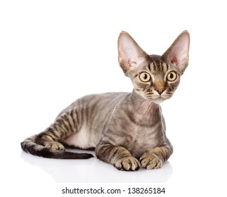 lying devon rex cat. looking away. isolated on white background