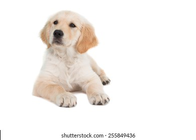 Lying dog looking to the side on white background