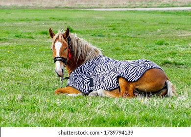lying down brown horse covered with a blanket in a green meadow