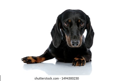 lying down little Teckel puppy dog with black fur looking at the camera pensively on white studio background