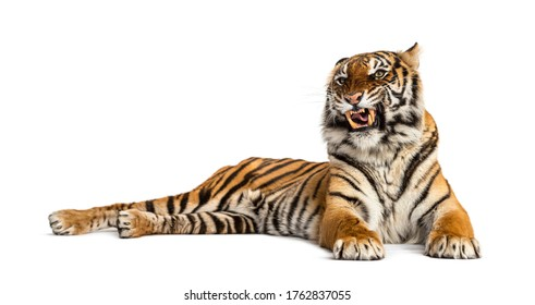lying down Tiger showing its tooth, isolated on white
