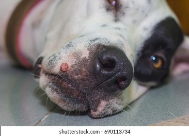 Lying English pointer mix phenotype white dog in black dots portrait close-up with big wart on the muzzle close-up shallow depth of field