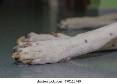 Lying English pointer mix phenotype white dog in black dots paws close-up shallow depth of field
