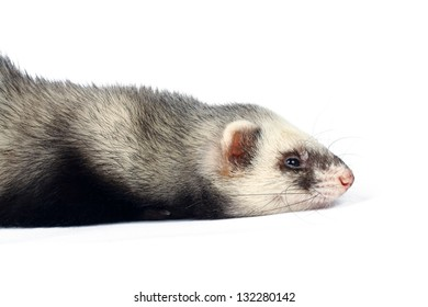 Lying ferret pursed his paws