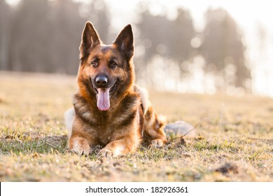 Lying German Shepherd Dog on grass in sunset