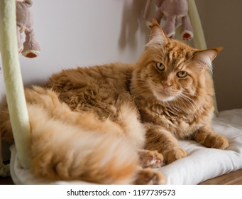 lying ginger maine coon cat
