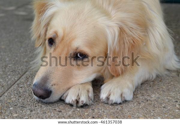 Lying gold retriever dog