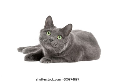Lying gray cat with green eyes, Russian blue cat