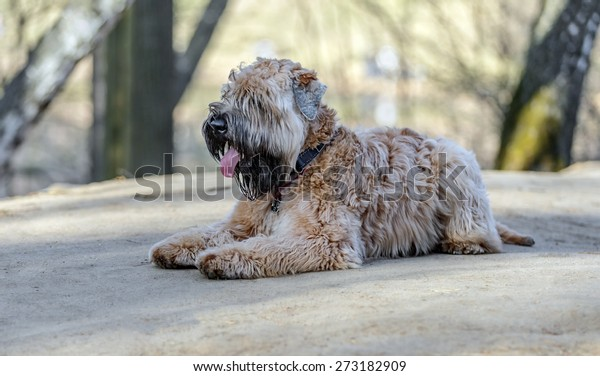 Lying Irish Soft Coated wheaten terrier