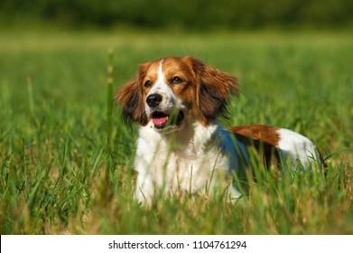 Lying kooikerhondje in a meadow