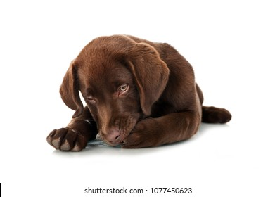 Lying Labrador puppy licking his paw isolated on white background